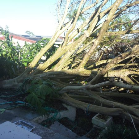 Fallen Coral tree covering whole backyard
