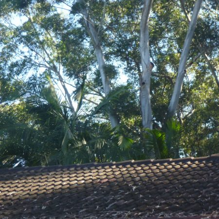 Large gum in backyard has to be manually dismantled